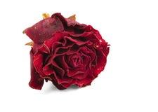 Il colore rosso secco è aumentato Fotografie Stock Libere da Diritti