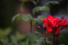 Il colore rosso selvaggio è aumentato Fotografia Stock Libera da Diritti