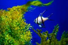 Il colourfull dell'acquario pesca in acqua blu profonda scura fotografia stock