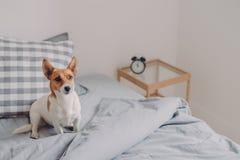 Il colpo delle pose di razza del cane sul letto comodo da solo, aspettare il proprietario, essendo leale ospitare, posa sopra l'i fotografie stock