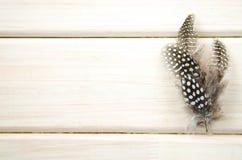 Il colpo dello studio di una diffusione di tre di in bianco e nero macchiato faraona modellata e strutturata mette le piume al bi Fotografia Stock Libera da Diritti