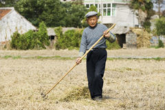 Il coltivatore anziano che raccoglie la paglia del frumento Fotografia Stock