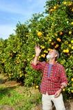 Il coltivatore anziano getta la frutta arancione Fotografia Stock