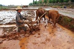 Il coltivatore cinese lavora in un giacimento del riso Immagini Stock