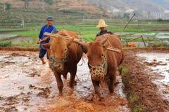 Il coltivatore cinese lavora in un giacimento del riso Fotografia Stock