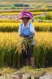Il coltivatore cinese lavora in un giacimento del riso Fotografie Stock Libere da Diritti