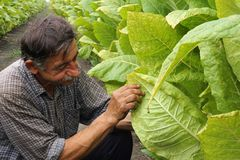 Il coltivatore esamina i fogli del tabacco fotografia stock libera da diritti