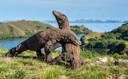 Il combattimento dei draghi di Komodo Immagine Stock
