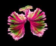 Il combattimento siamese di verde e di rosa pesca, pesce di betta isolato sul bla Fotografia Stock