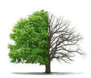 Il concetto dei morti e dell'albero vivente Fotografia Stock Libera da Diritti