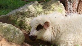 Il concetto di bestiame crescente Produzione di lana delle pecore e del latte grande moltitudine o gregge di pecore sulla stazion stock footage
