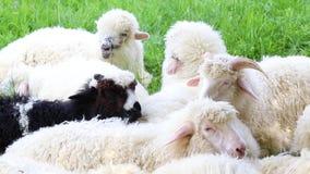 Il concetto di bestiame crescente Produzione di lana delle pecore e del latte Una moltitudine di pecore che pascono in un prato u archivi video