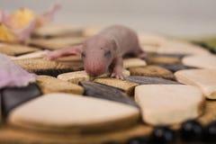 Il concetto di cecità Il cucciolo del ratto non aveva aperto i suoi occhi ancora immagini stock libere da diritti