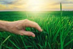 Il concetto di difesa delle colture del grano, agricoltore consegna il giovane verde pl fotografia stock
