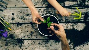 Il concetto di giardinaggio Le mani di due adulti si chiudono su sulle foglie del fiore ed il ragazzo rotola la terra con archivi video