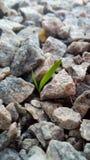 Il concetto di vita e di crescita malgrado le difficoltà Il germoglio dell'erba verde fa il suo modo attraverso le piccole pietre immagini stock