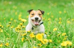 Il concetto stagionale di allergia con il cane che si siede fra sbocciare fiorisce Fotografia Stock Libera da Diritti