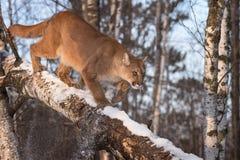 Il concolor del puma del puma della femmina adulta batte la neve fuori dal ramo Immagini Stock Libere da Diritti