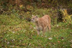 Il concolor del puma del puma del maschio adulto sta su terra che guarda a sinistra Fotografia Stock Libera da Diritti