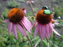 Il coneflower porpora orientale fiorisce (rudbeckia) con gli scarabei verdi del rinforzo Immagini Stock