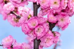 Il confine del ciliegio rosa sbocciante di sacura si ramifica in giardino Fotografia Stock