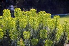 Il confine dell'estate pianta l'euphorbia characias Fotografie Stock