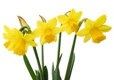 Il confine floreale della primavera, bello narciso fresco fiorisce Fotografie Stock Libere da Diritti