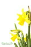 Il confine floreale della primavera, bello narciso fresco fiorisce fotografia stock libera da diritti