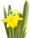 Il confine floreale della primavera, bello narciso fresco fiorisce immagini stock