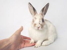 Il coniglietto adorabile del bambino sbatte le palpebre e dà la zampa Immagini Stock