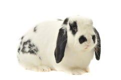 Il coniglietto macchiato Lop si siede sulla tabella bianca Fotografie Stock Libere da Diritti