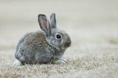 Il coniglio Fotografie Stock