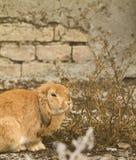 Il coniglio Immagini Stock