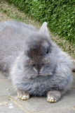 Il coniglio Fotografia Stock Libera da Diritti