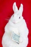 Il coniglio bianco isolato su un rosso tiene i soldi che si trovano sulla parte posteriore Fotografia Stock Libera da Diritti