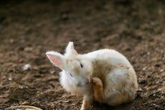 Il coniglio bianco sta graffiando, Fotografie Stock Libere da Diritti