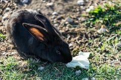 Il coniglio con i capelli di nero-Brown si siede su erba verde in un prato fotografie stock libere da diritti