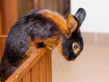 Il coniglio della razza che il nero-fuoco si abbronza vuole schioccare dal cage_ fotografia stock