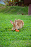Il coniglio di Brown mangia la carota Fotografia Stock Libera da Diritti