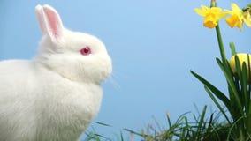 Il coniglio di coniglietto bianco con le uova di Pasqua ha attaccato nel mazzo di narcisi archivi video