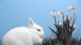 Il coniglio di coniglietto bianco con le uova di Pasqua ha attaccato nel mazzo di narcisi in bianco e nero archivi video