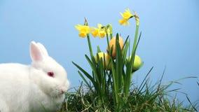 Il coniglio di coniglietto con le uova di Pasqua ha attaccato nel mazzo di narcisi video d archivio