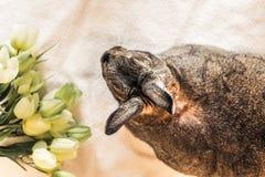 Il coniglio di coniglietto di Gray Easter accanto alla molla fiorisce nella regolazione d'annata, vista superiore Fotografie Stock Libere da Diritti