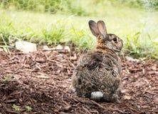 Il coniglio di coniglietto marrone e grigio piccolo adorabile nel giardino con la parte posteriore ha girato la mostra della coda Fotografia Stock Libera da Diritti