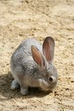 Il coniglio Eared sgranocchia erba verde, ha fatto il suo modo attraverso la sabbia fotografia stock