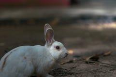 Il coniglio, esce ricerca l'alimento, Immagini Stock