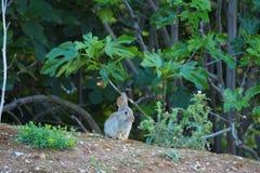 Il coniglio impertinente che attacca fuori la sua lingua al fotografo, lerida fotografia stock libera da diritti