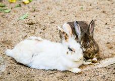 Il coniglio indica in chiangmai Tailandia Fotografia Stock