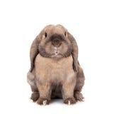 Il coniglio lop-eared nano alleva la ram. Immagini Stock