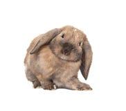 Il coniglio lop-eared nano alleva la ram. Fotografia Stock